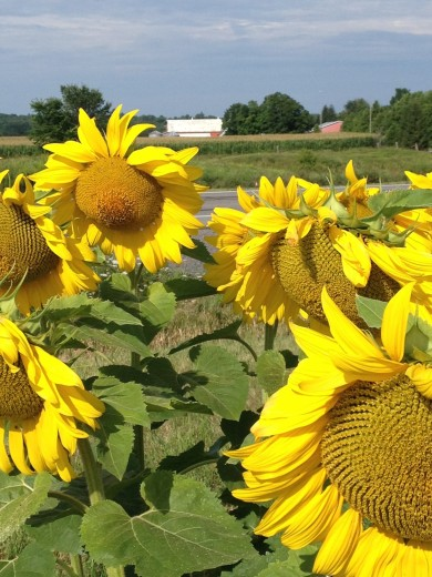 Sunflowers in front of Harshell Farms