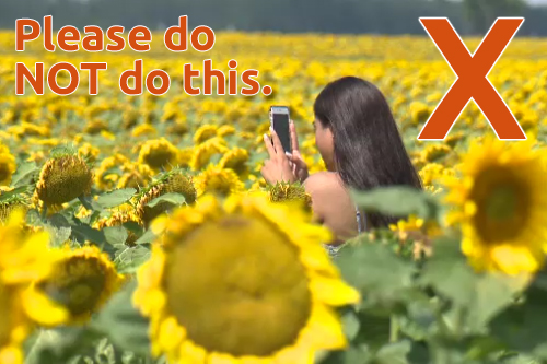 Picture of young woman taking a selfie in a sunflower field - please do not do this!
