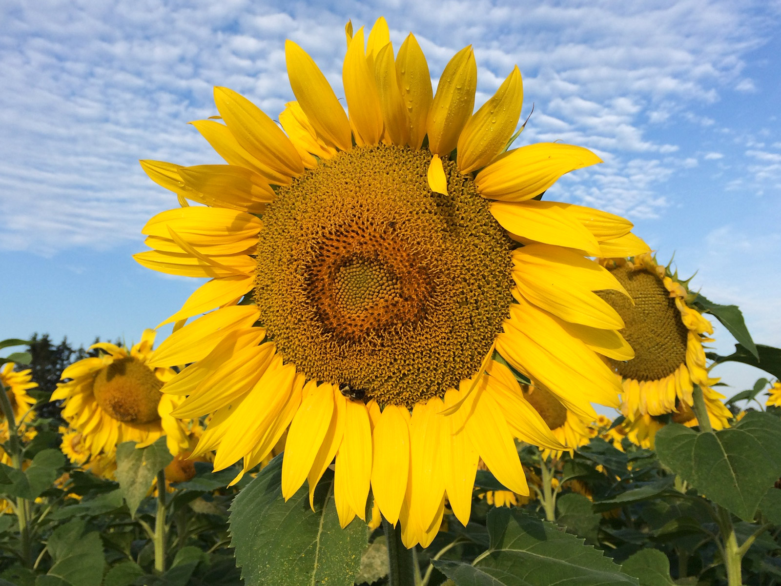 Large sunflower on Harshell Farm